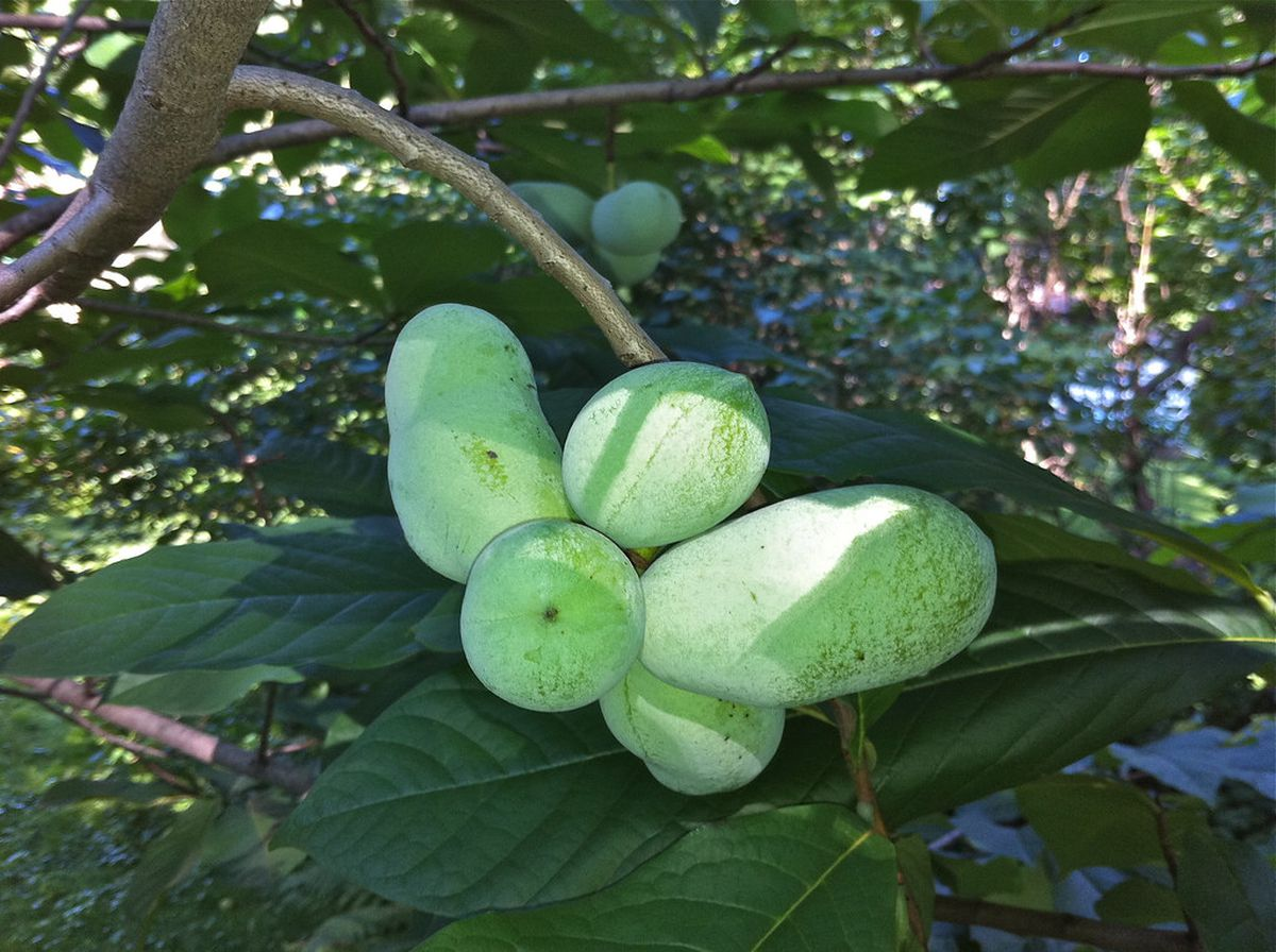 Bill to make pawpaws the state fruit continued to 2021