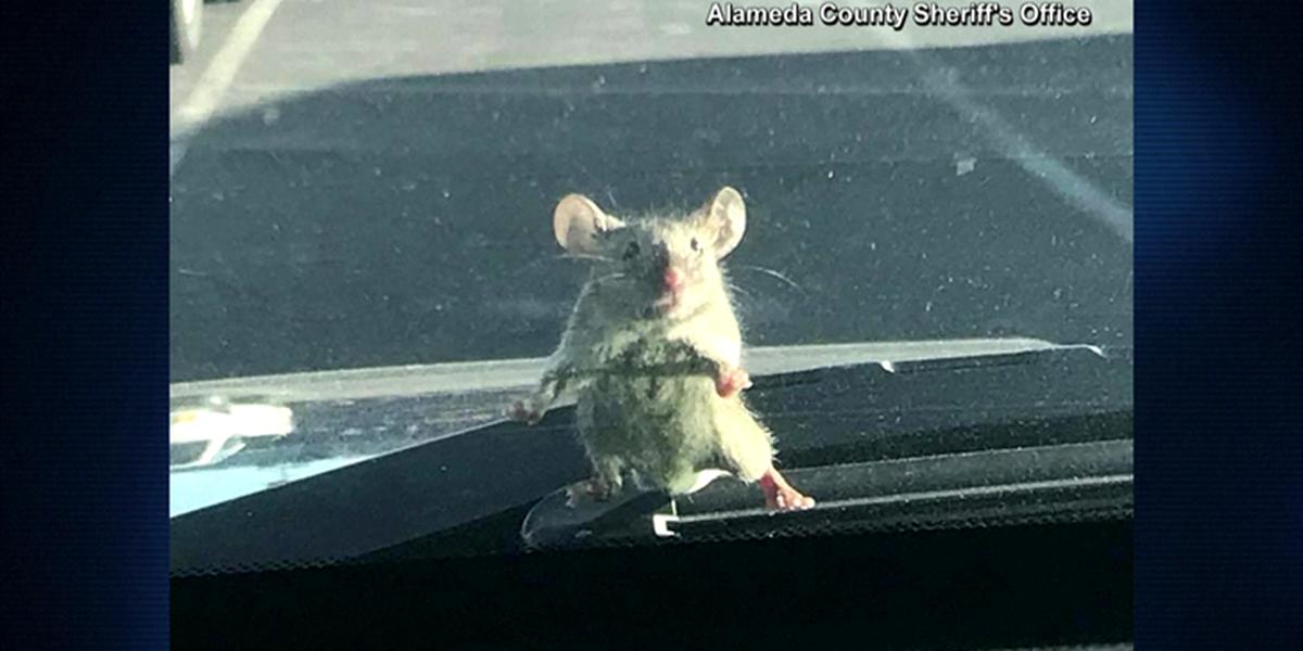 Mouse pops up on windshield of sheriff's deputy car