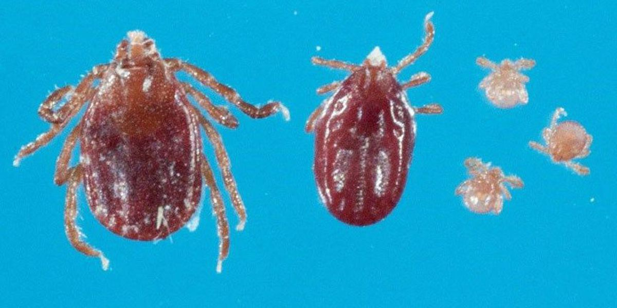 Exotic tick found on cattle farm in Virginia