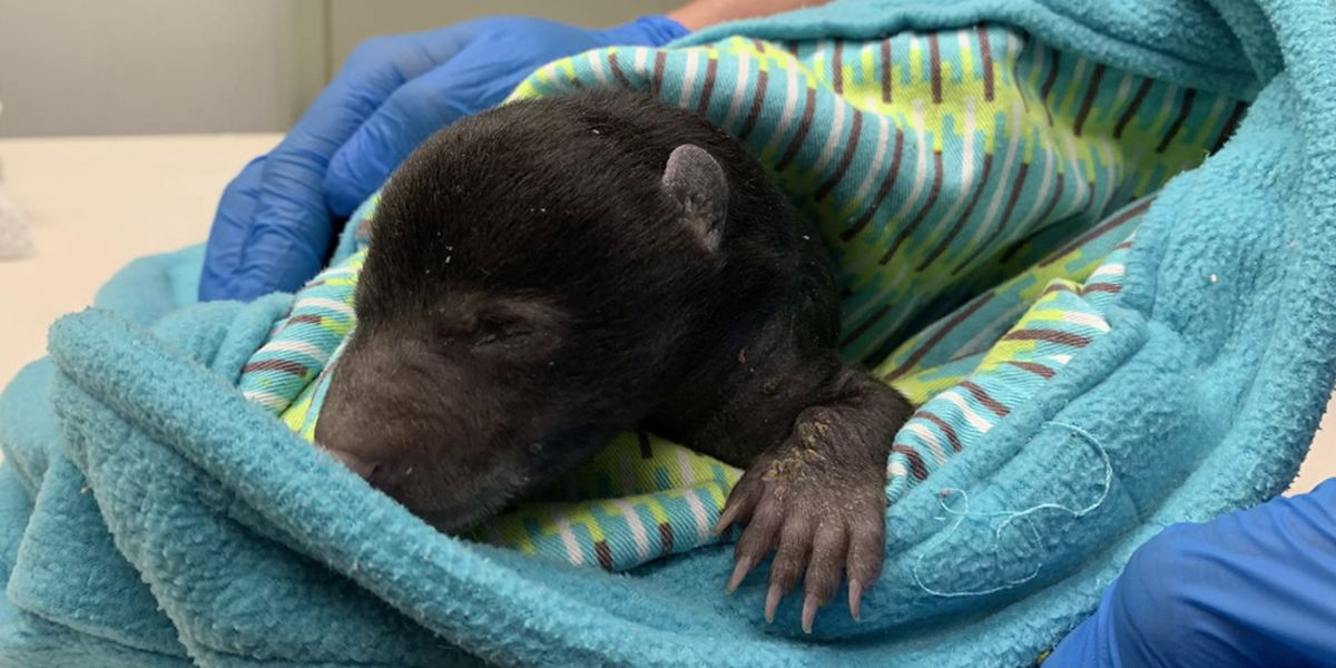 Wildlife Center of Virginia taking care of tiny bear cub