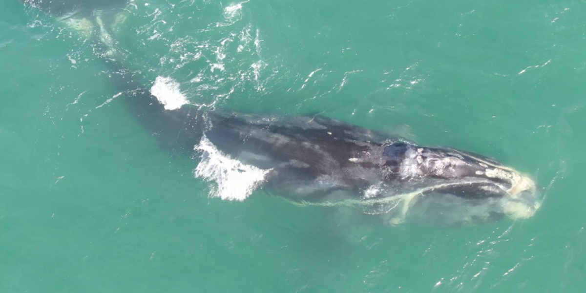 Critically endangered North Atlantic right whale named 'Cottontail' found dead off S.C. coast
