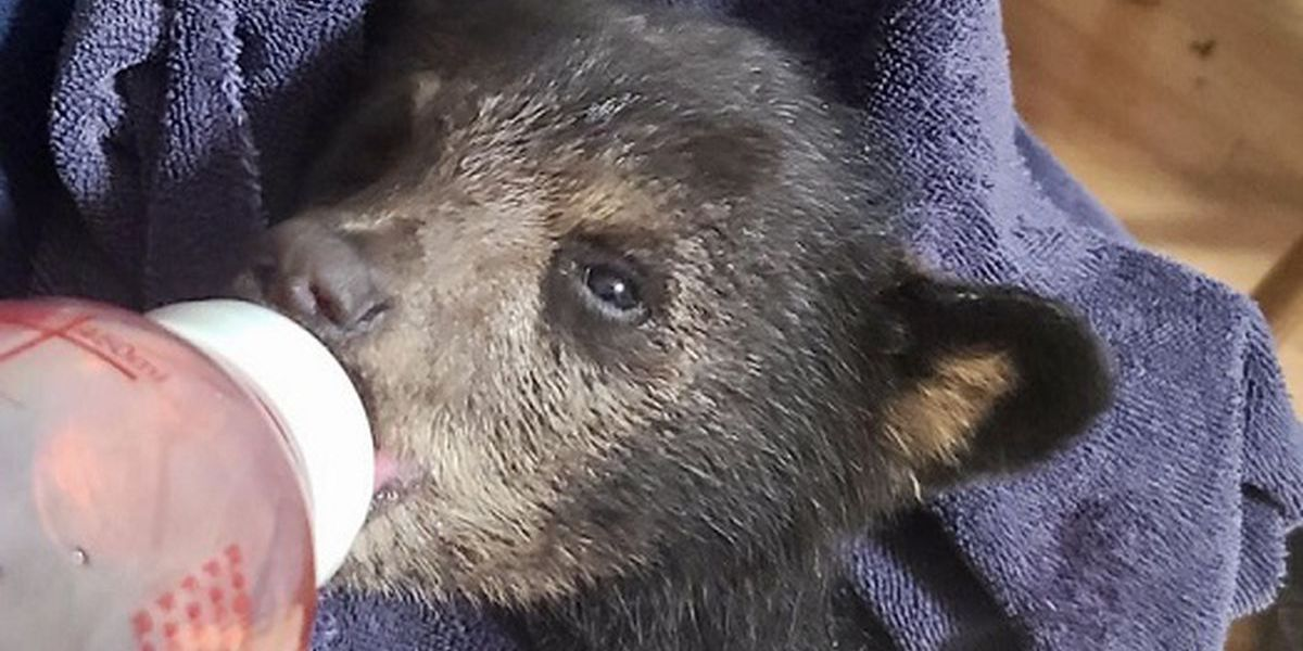 Wildlife center takes in black bear cub from Fries