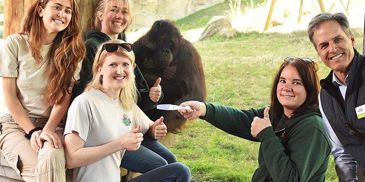 Virginia Zoo announces orangutan is pregnant