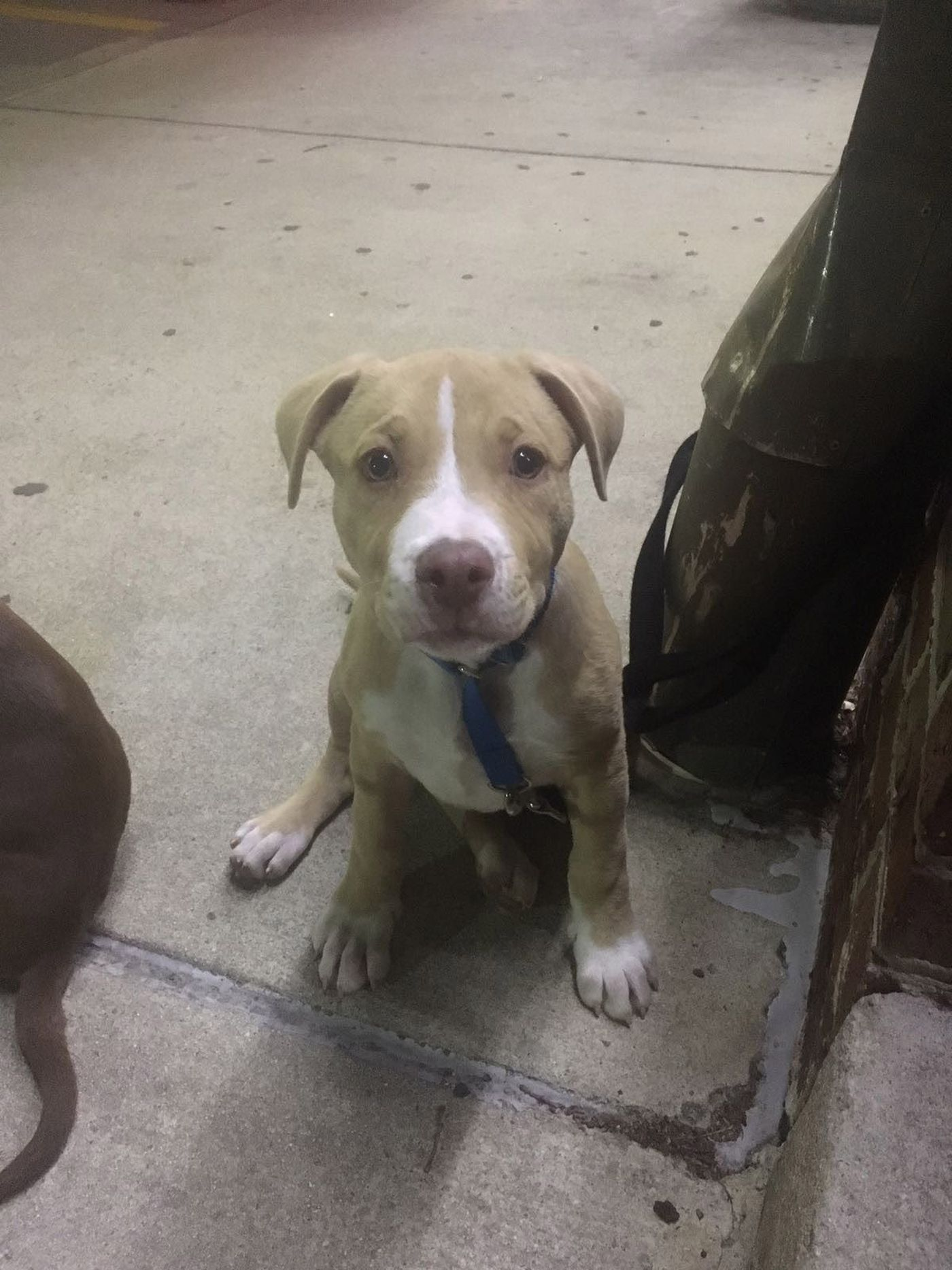 Pit Bull Puppies Stolen From Homes Around Richmond
