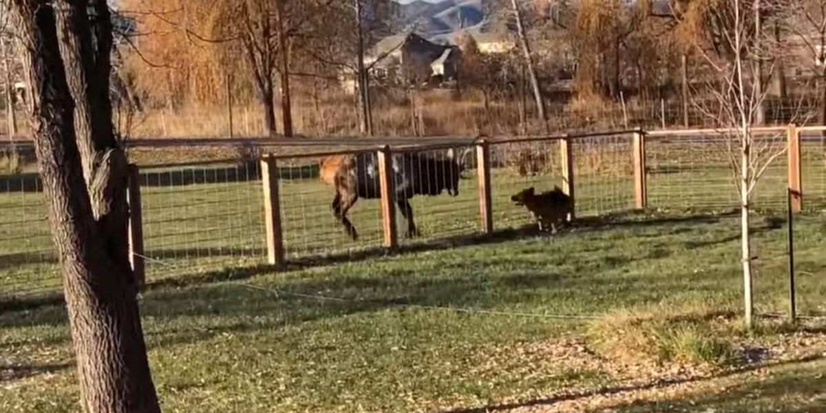 Elk and German shepherd caught on camera frolicking in Colorado