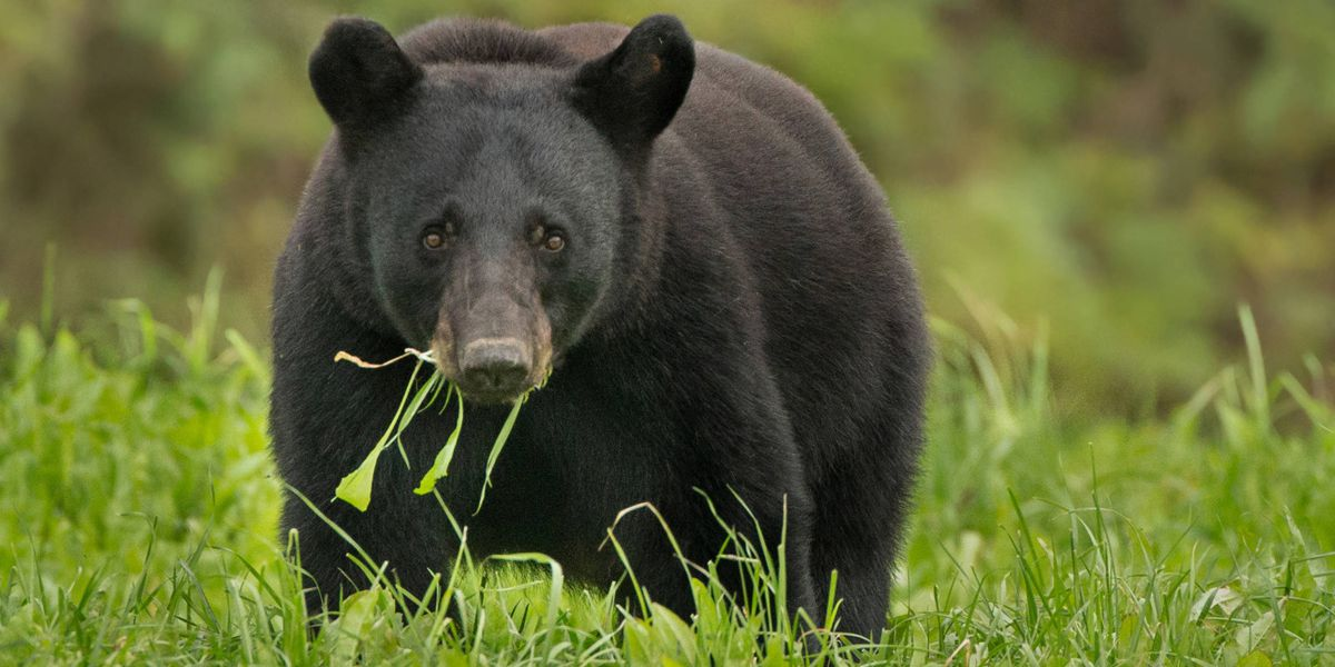 Officers: Va. woman charged for feeding black bear in Tennessee