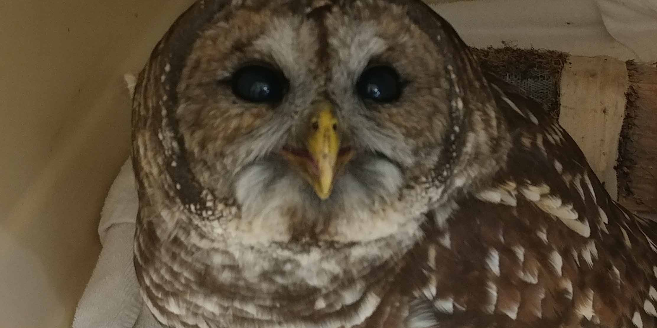 WATCH: Pair of bonded barred owls released into wild together