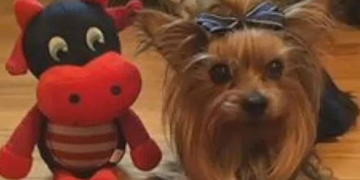 Missing Yorkie found, but not returned to owner