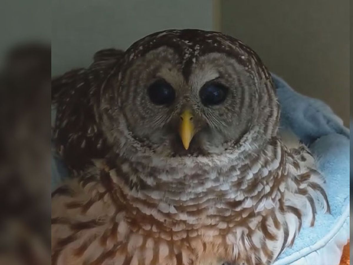 Rescued Barred Owl, other birds of prey needs donations for food