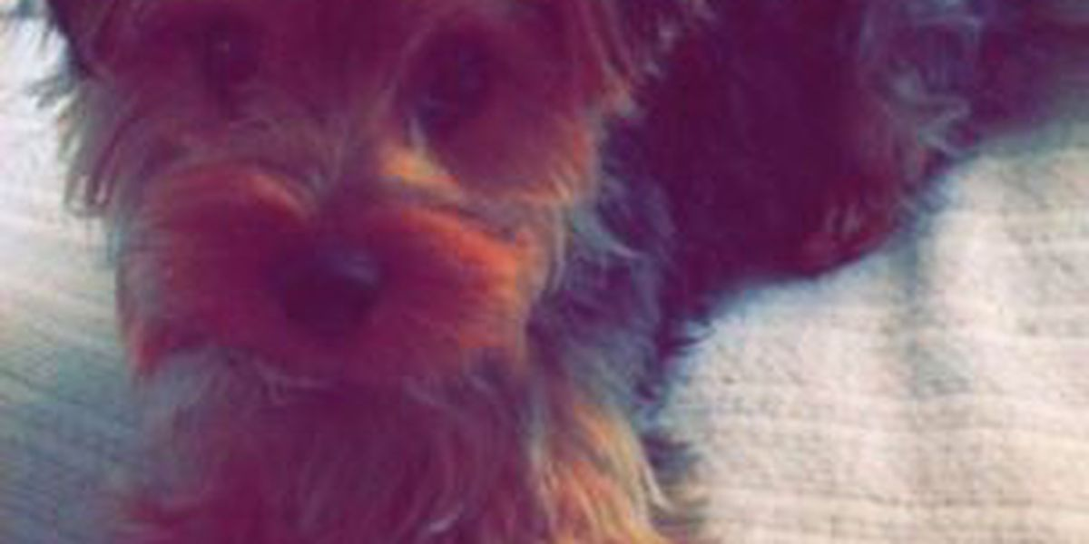 Lost Dog: Have you seen this Yorkie?