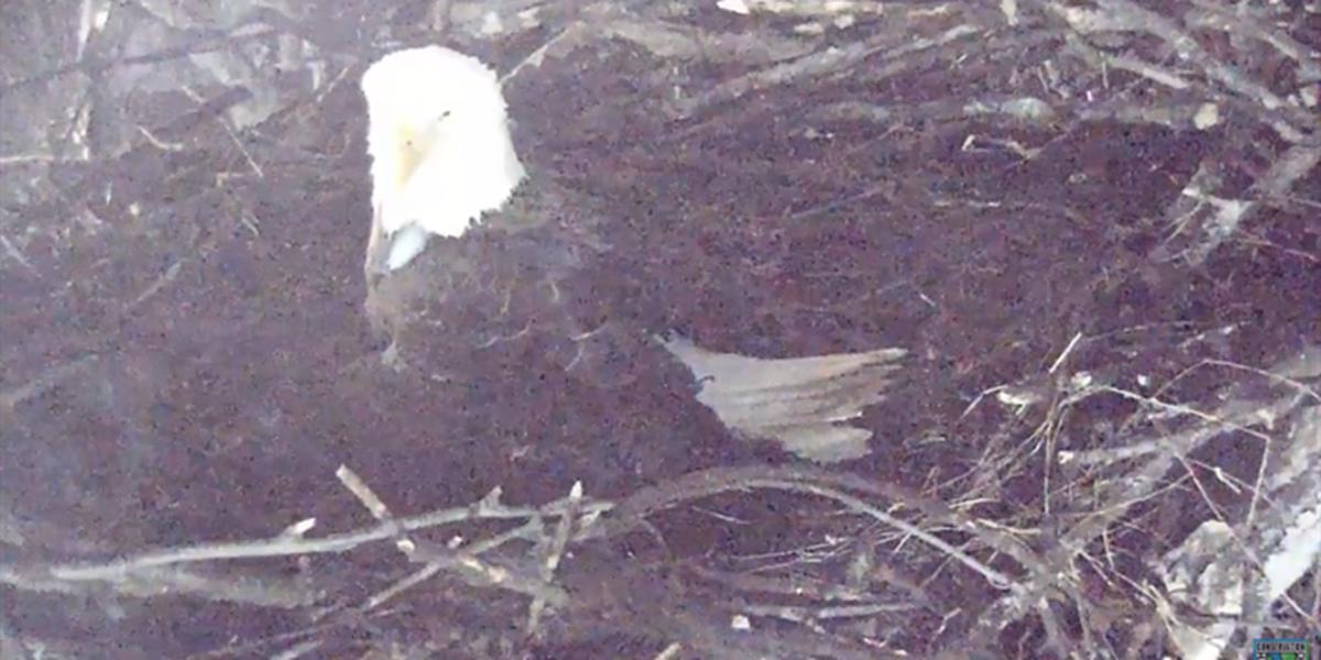 Bald eagles welcome new hatchling