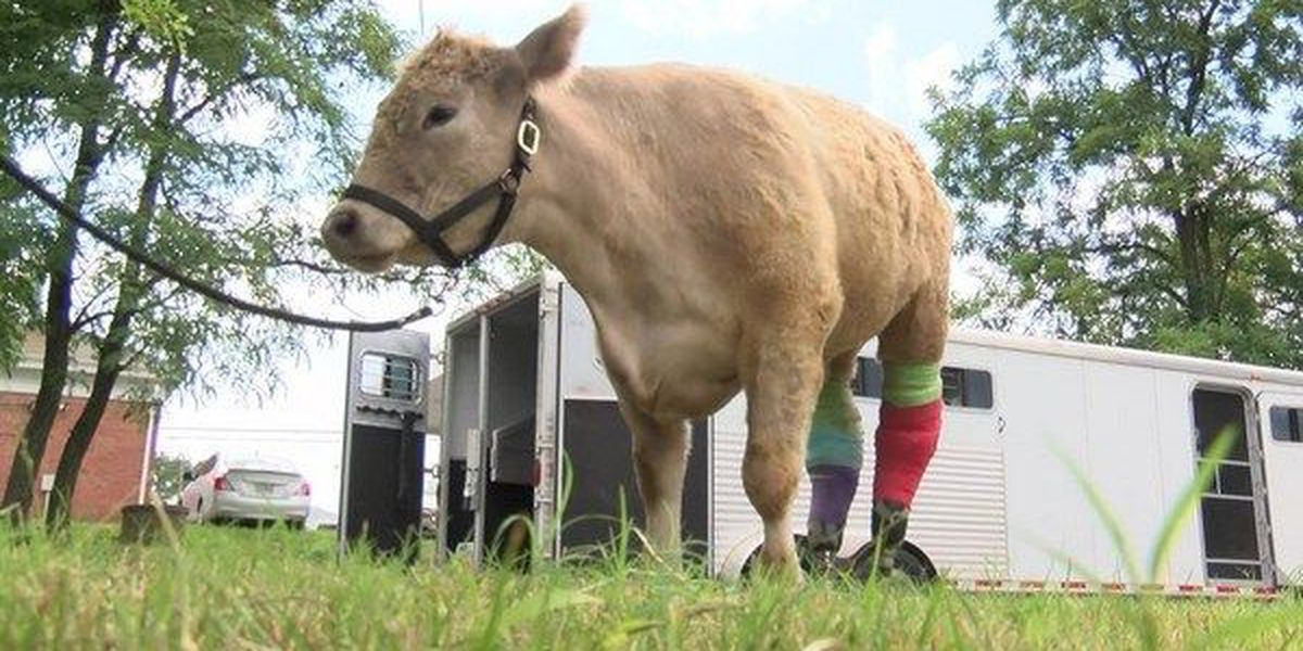 Hero the 2-legged calf visits Henrico