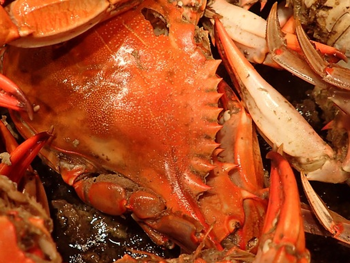 Pandemic prompts extension of crab-pot season in Virginia