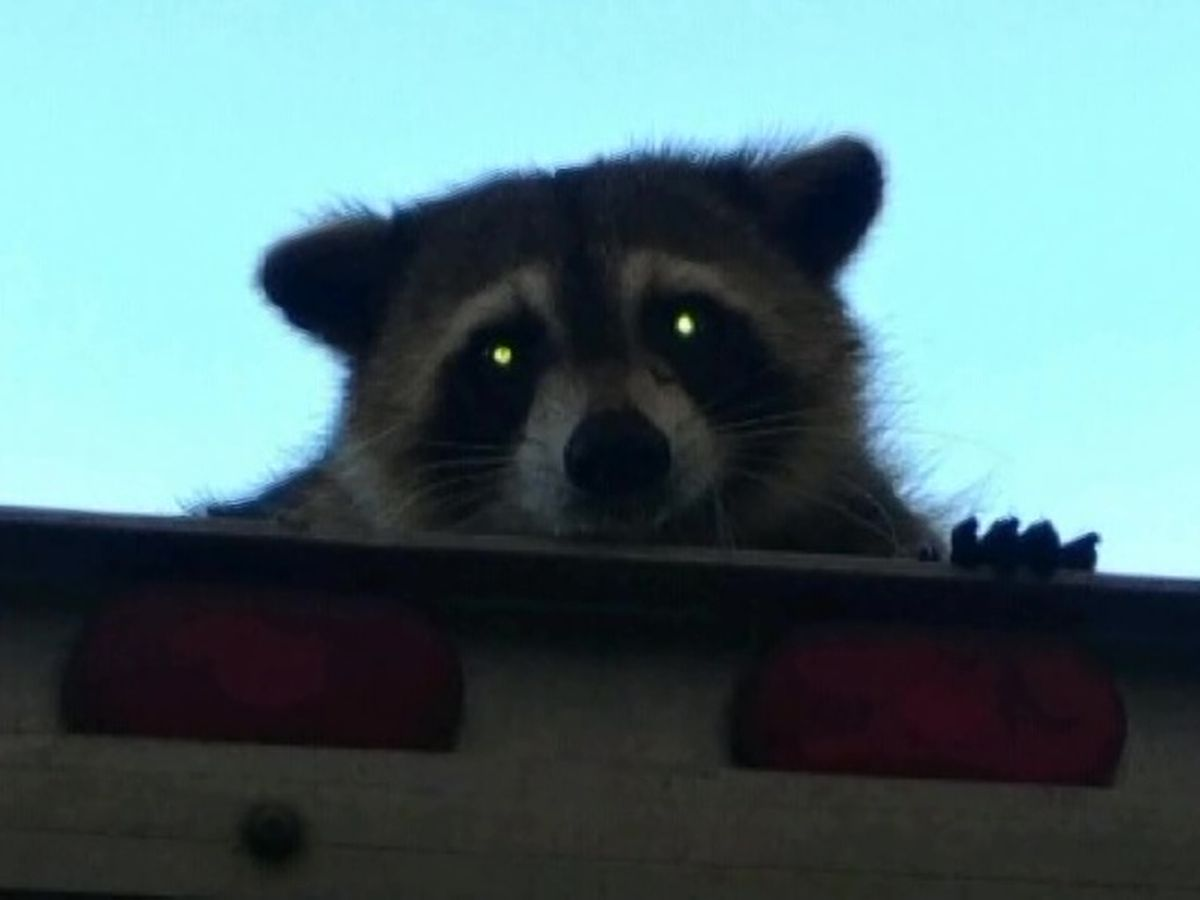 Florida raccoon takes 16-mile ride on top of bread truck