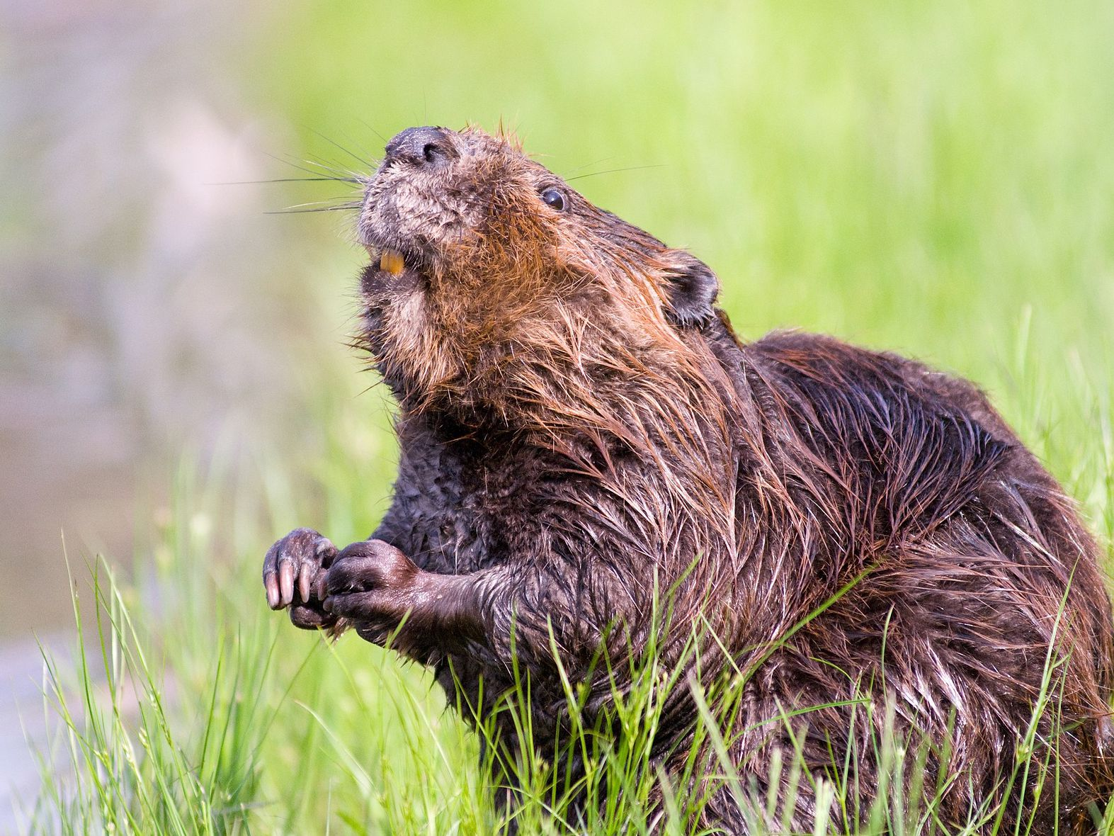 Beaver spotted near DC's Tidal Basin, raising concerns about cherry trees