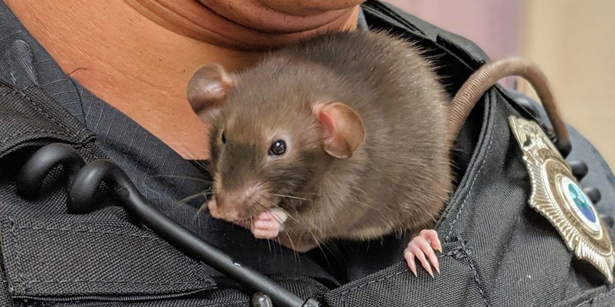 Chesterfield rat mascot gets a new rat friend