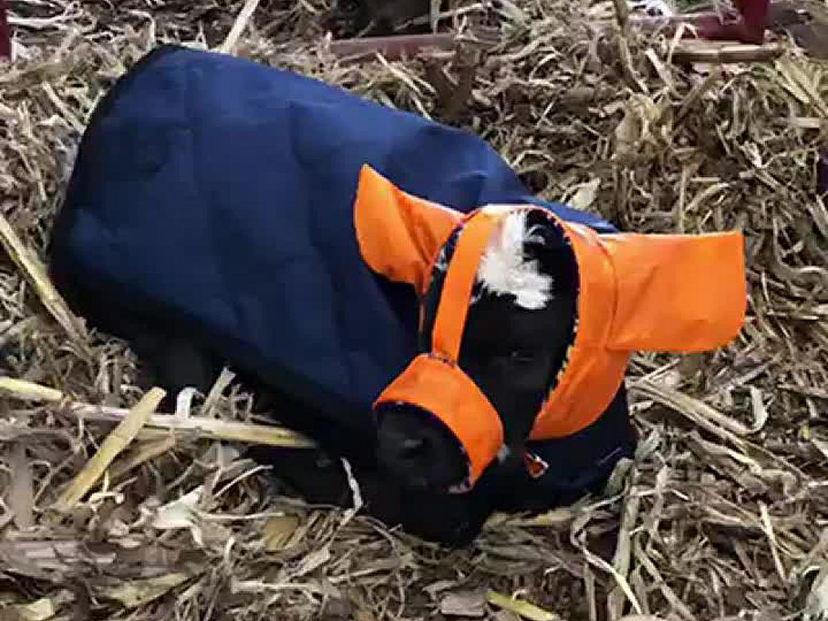 Farmer creates Moo Muffs to keep the ears of newborn calves warm