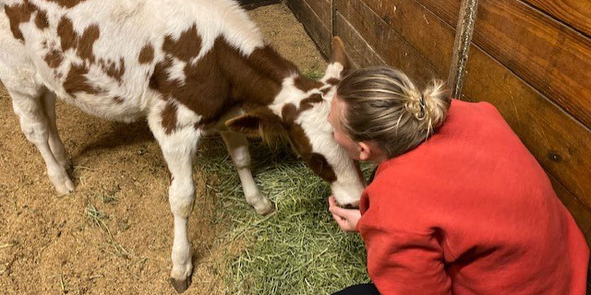 Baby cow found in Richmond gets adopted