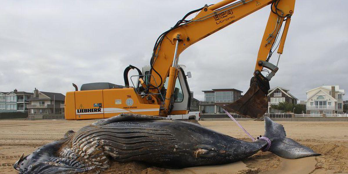 Juvenile humpback whale washes ashore in Virginia Beach