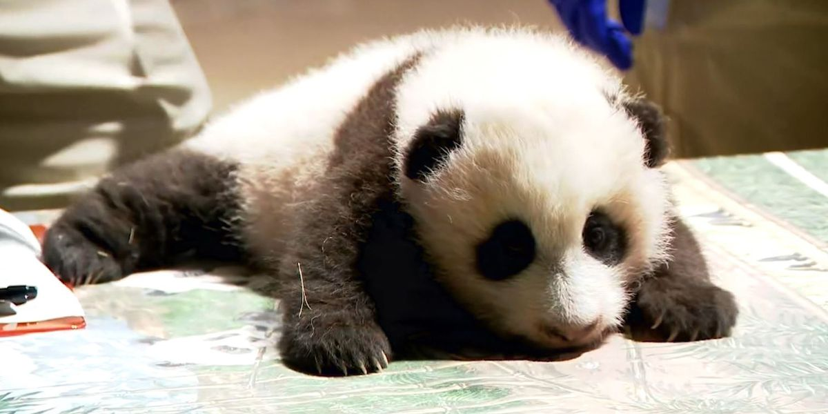 The votes are in: National Zoo's giant panda cub named
