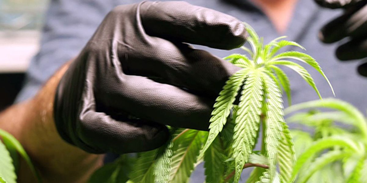 Marijuana possession and cultivation could be legal by July