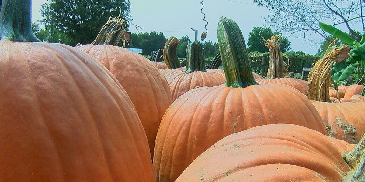 Ashland Berry Farm pumpkin patch opens this weekend