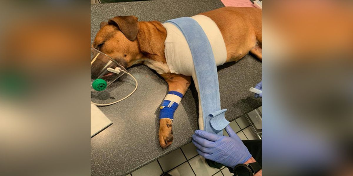 Dog shot Christmas Eve expected to lose leg; police still looking for person responsible
