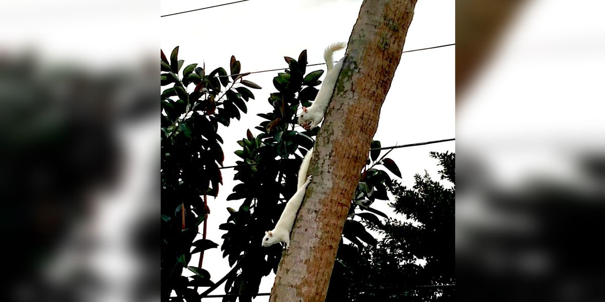 CUTE VIDEO: Mother and baby white squirrels in Manatee County