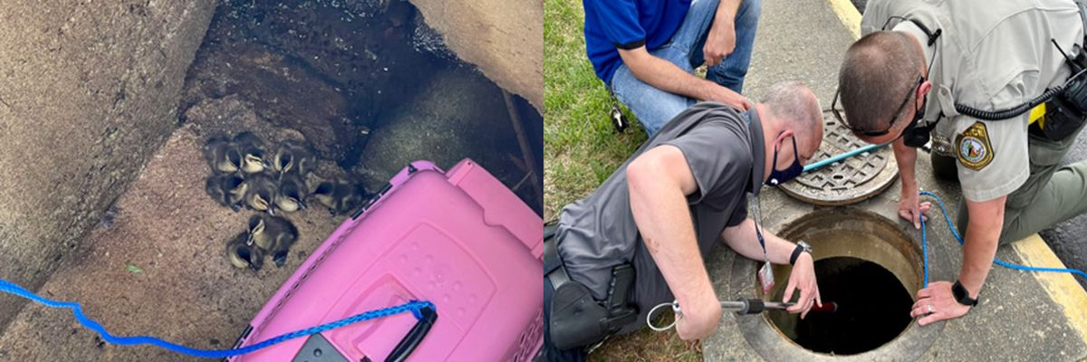 Henrico officers help rescue ducklings stuck in sewer drain