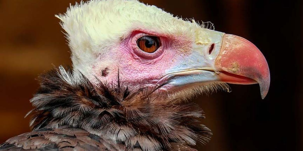 Police search for solution to 'loafing' vultures around college campus