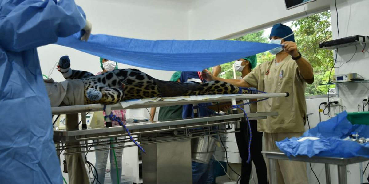 First ever jaguar cub born from artificial insemination