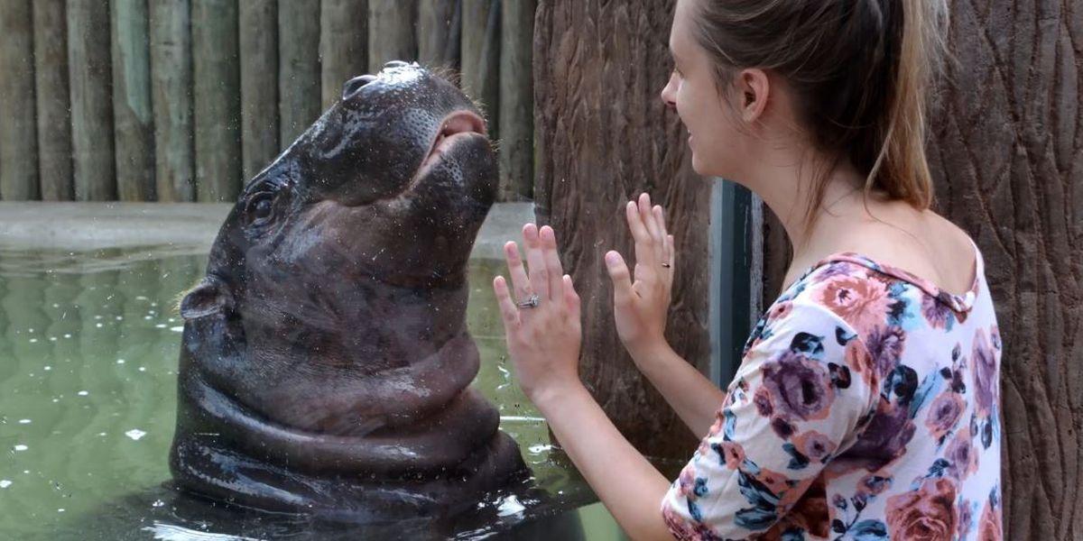 Cuteness overload: Pygmy hippo exhibit opens at Metro Richmond Zoo