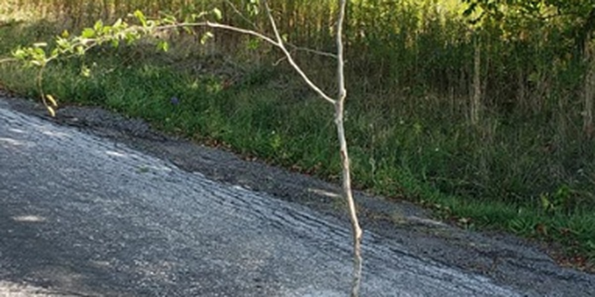 Residents say 5-foot tree is growing from pothole in Portage County