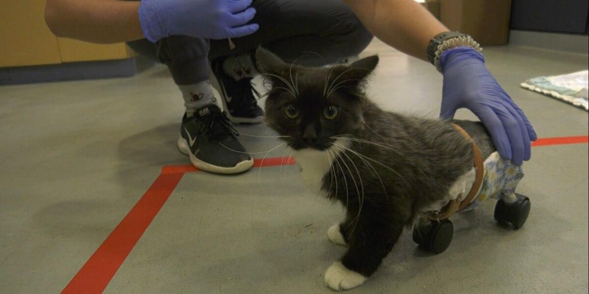 Paraplegic kitten being cared for at Charlottesville Albemarle SPCA
