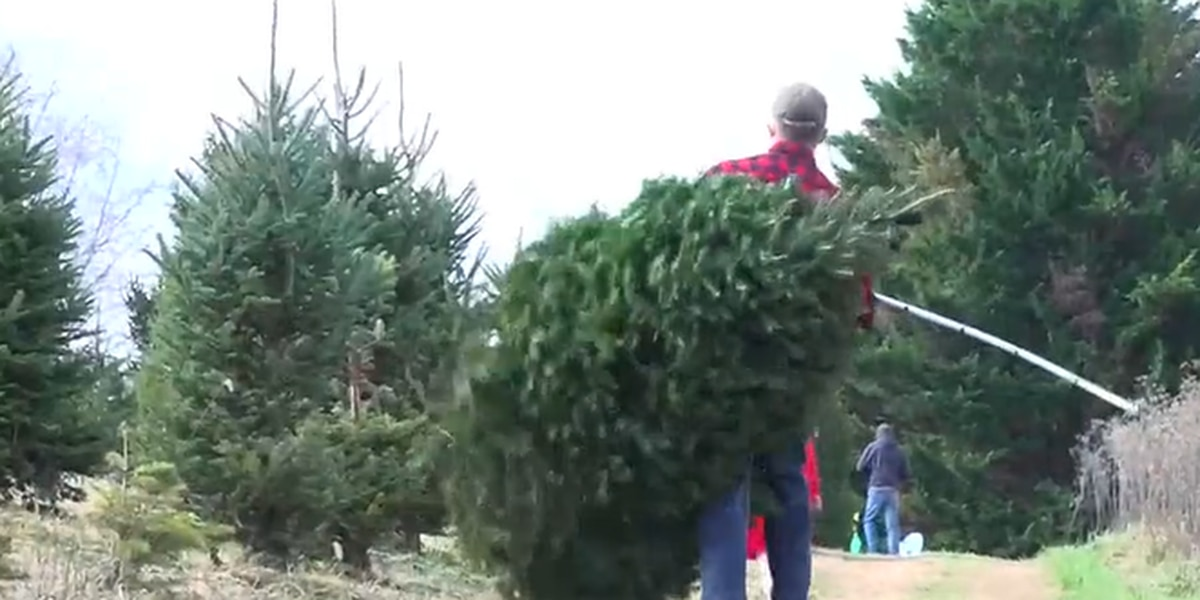 Christmas tree farms open for busy weekend