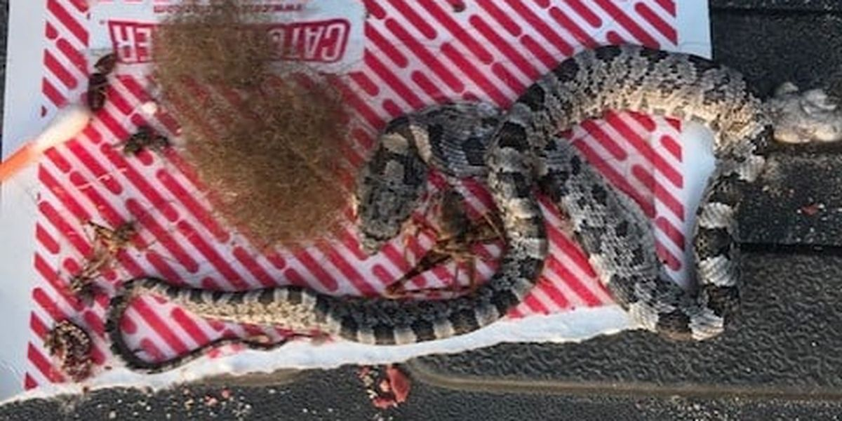 Shelter advises against glue traps as baby snake season arrives
