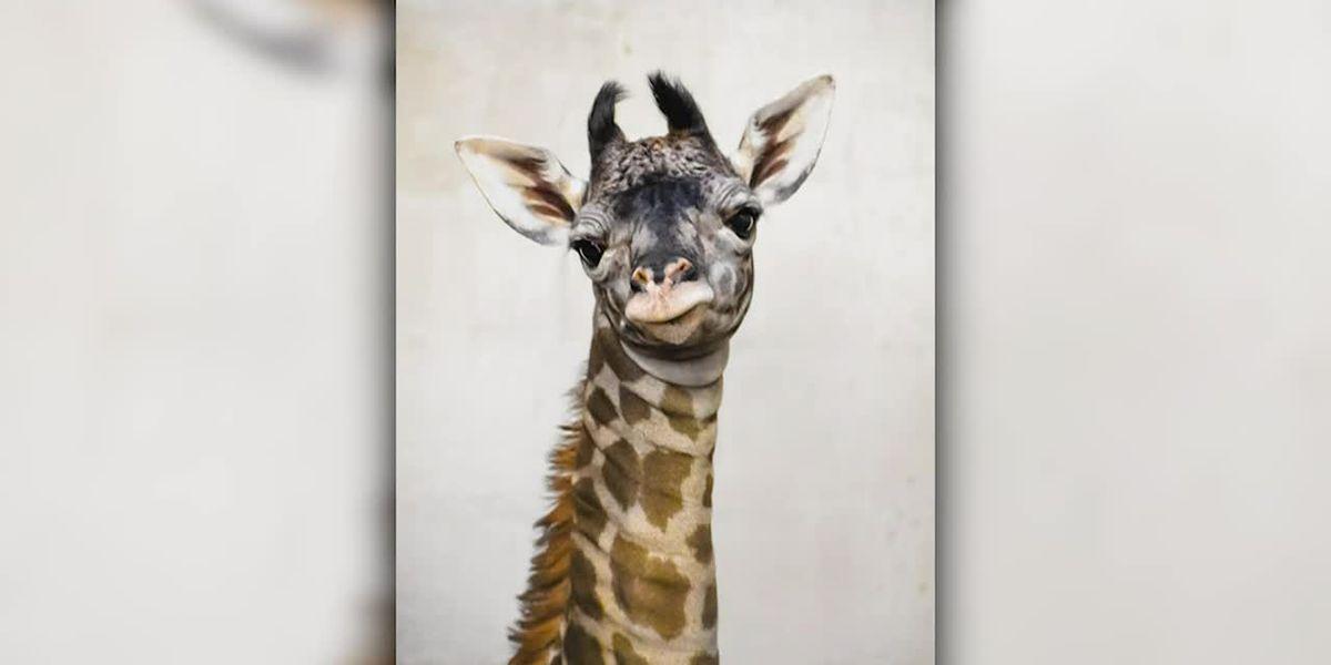 Autumn the giraffe welcomes new calf