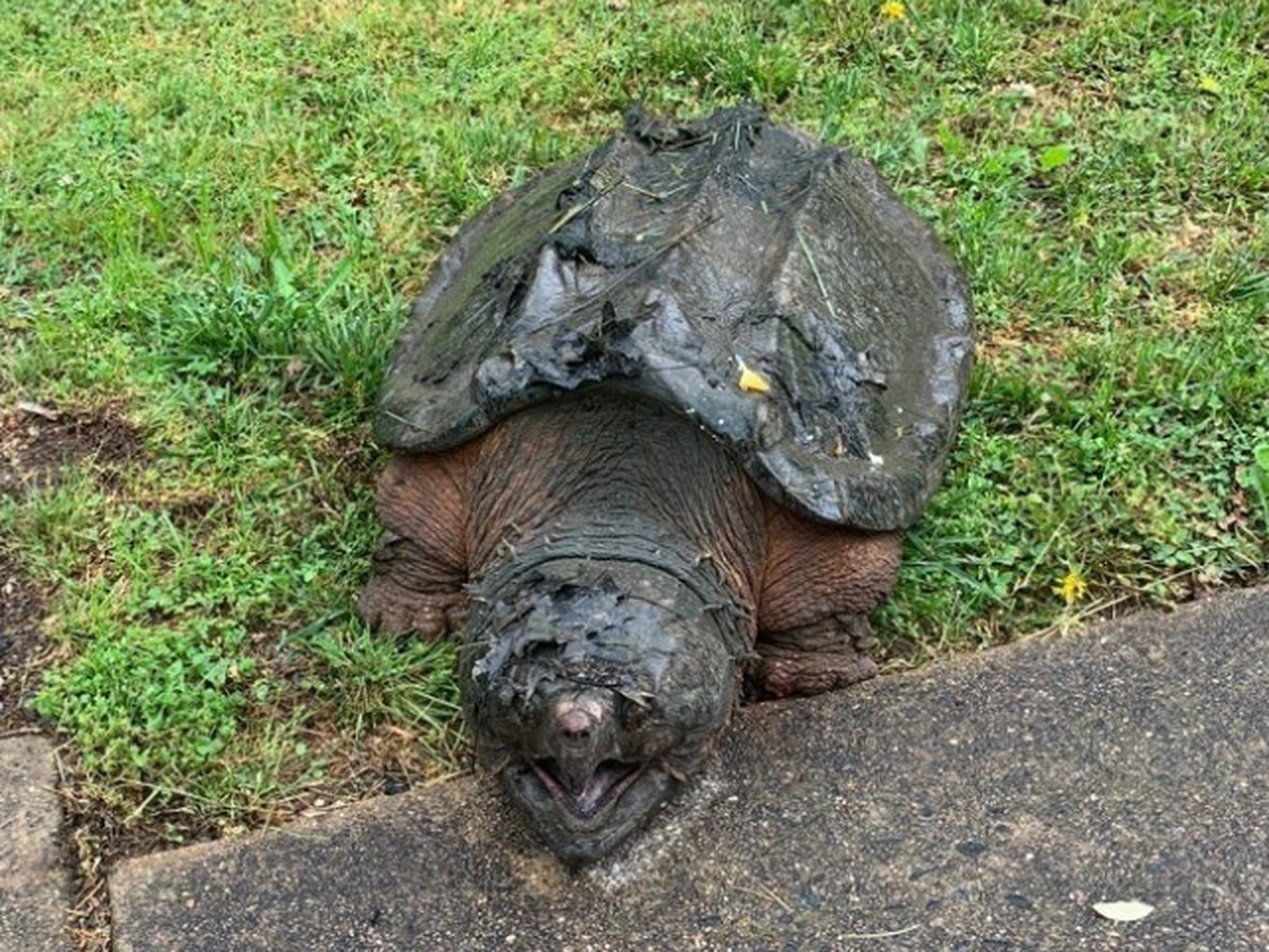 Fairfax County police finds 65 pound alligator snapping turtle