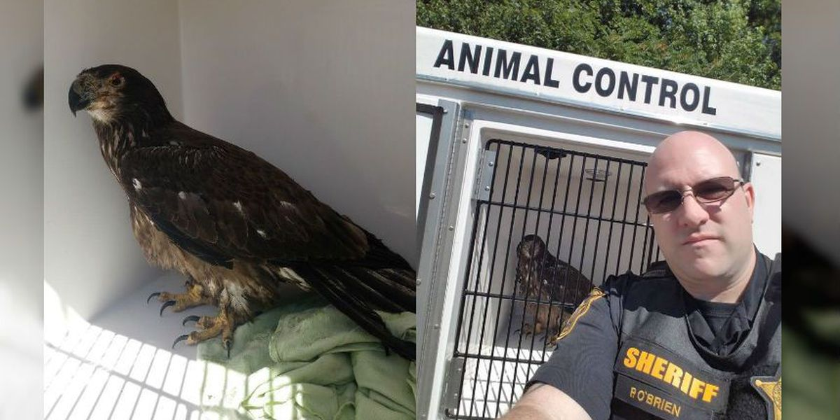 Spotsylvania sheriff's deputy rescues injured bald eagle