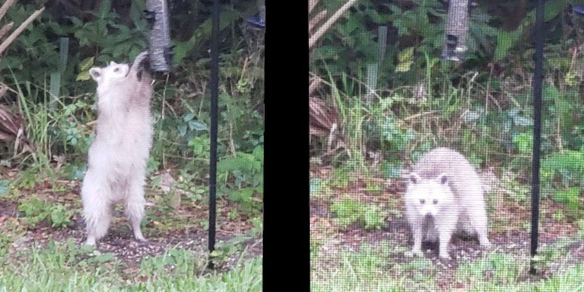VIDEO: Albino raccoon in Florida circulates social media