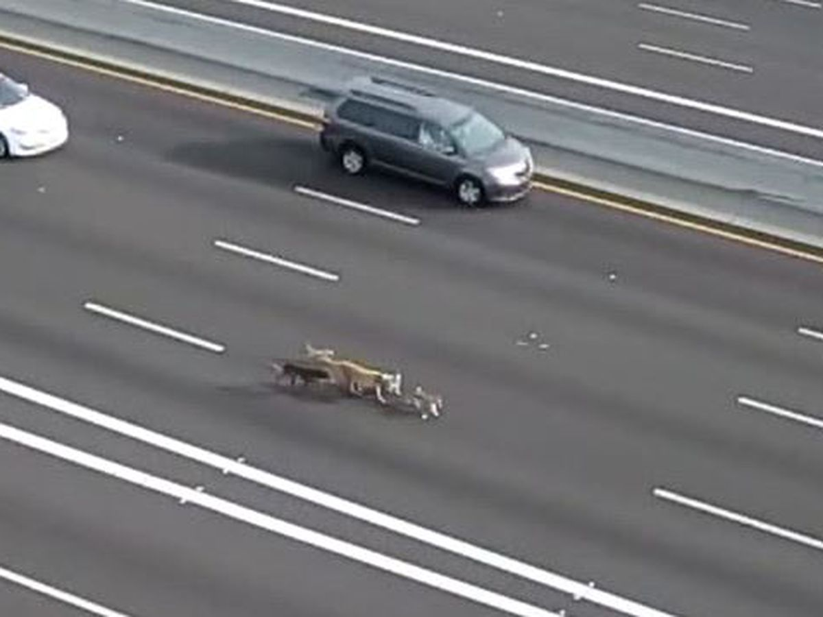 Pack of dogs prances along Arizona highway, stopping traffic