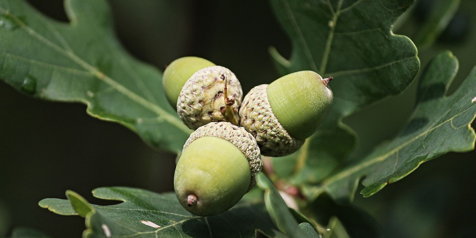 Virginia Department of Forestry wants your acorns