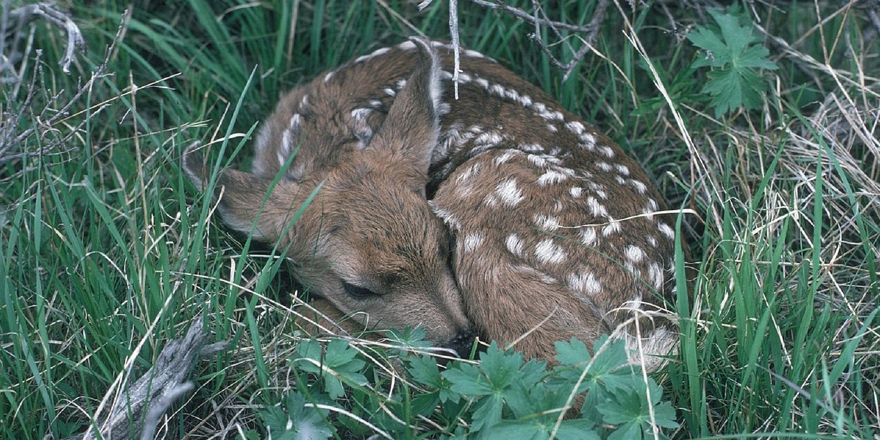 DGIF: Leave deer fawns alone