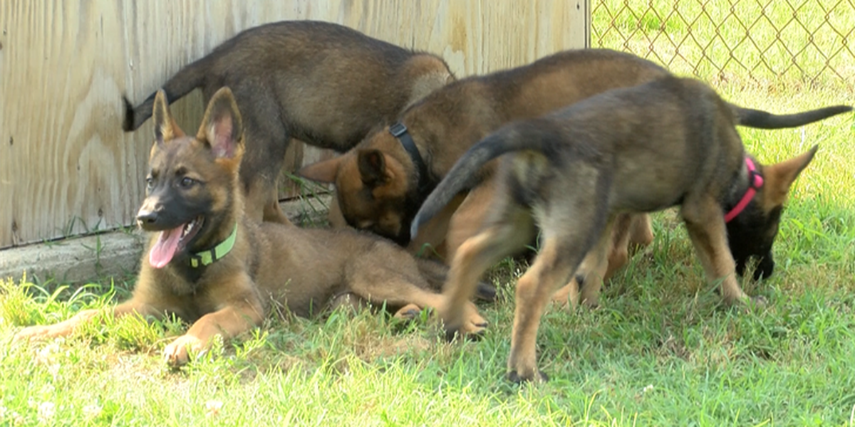 Puppies born following raid of boarding facility get special assignment