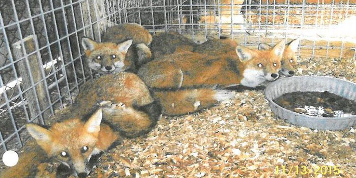 Illegal wildlife trading bust nets 9 guilty pleas for fox penning