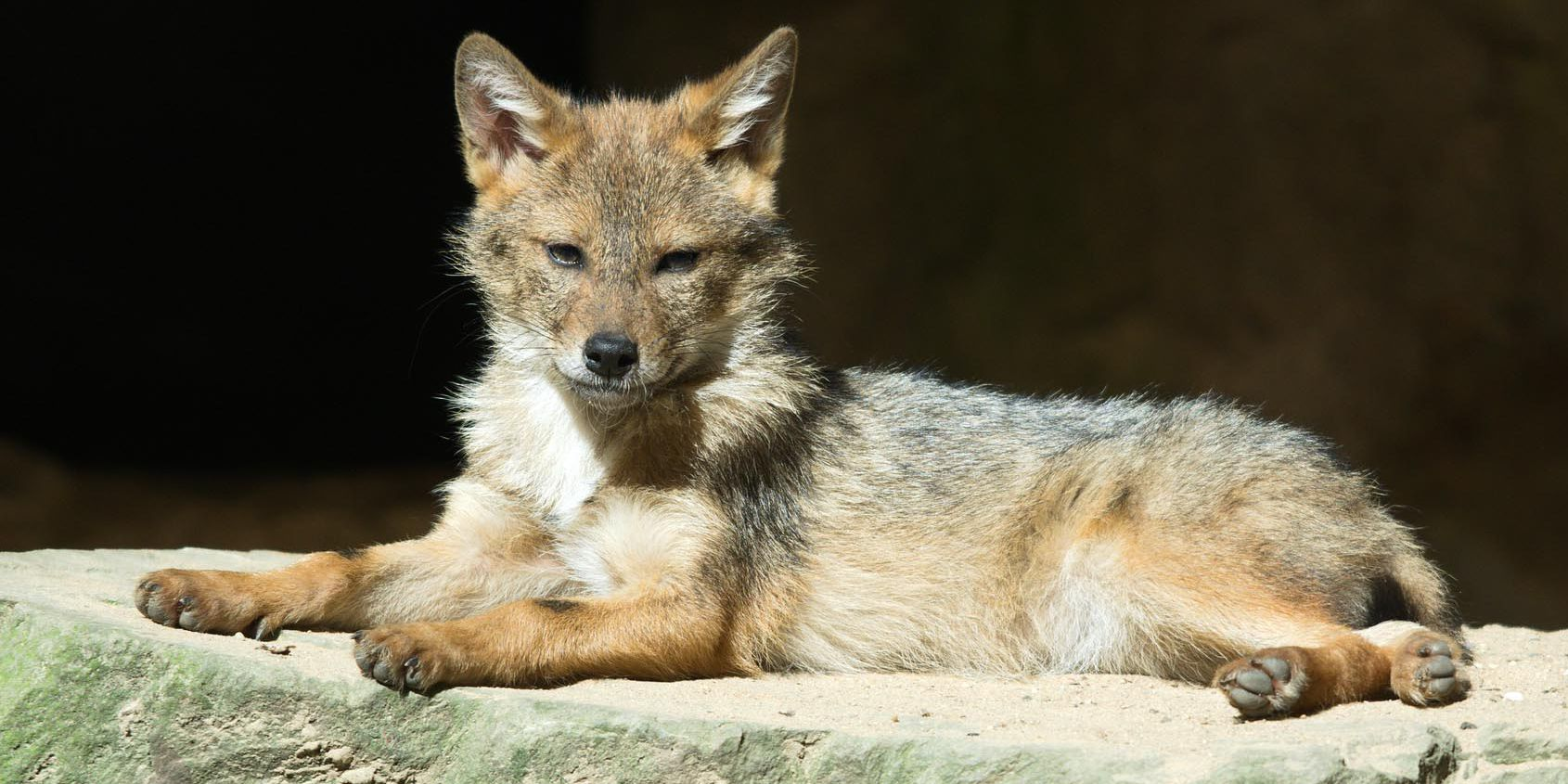 Coyotes seen in downtown Charlottesville