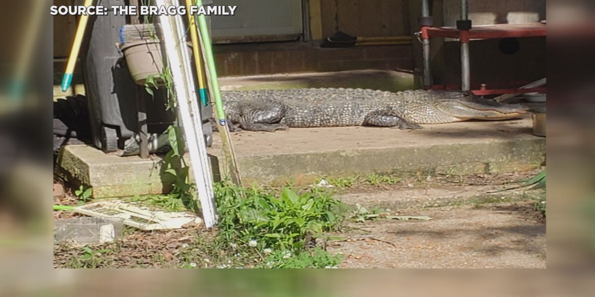 Eight foot alligator takes nap on Rankin County family's porch