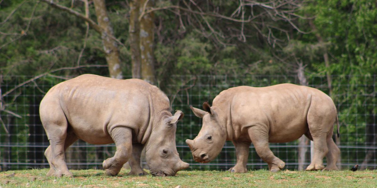 Virginia Safari Park announces birth of two baby rhinos