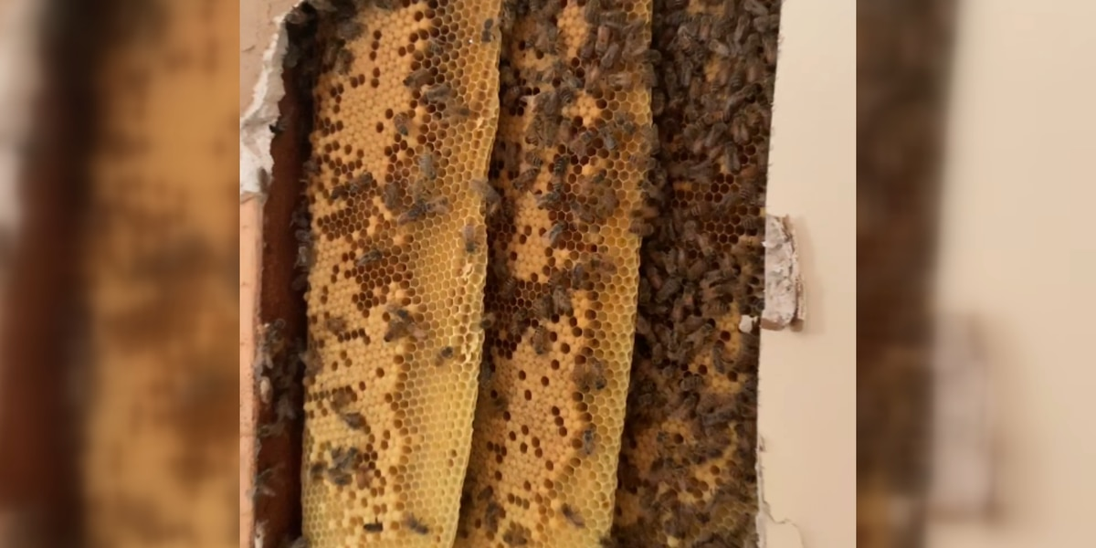 SC family finds more than 80,000 bees in house wall