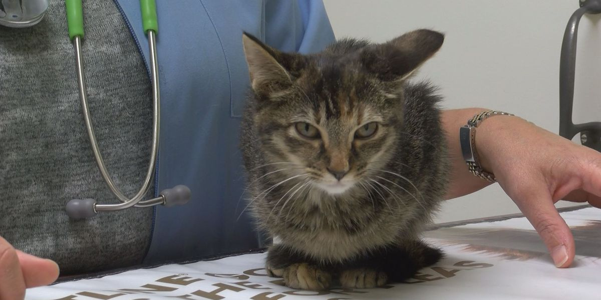Injured kitten that was thrown from vehicle loses leg